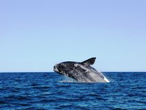 Whale jumping over the sea in Puerto Madryn, Argentina. Royalty Free Stock Images