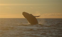 Whale jumping at sunset. Patagonian whale jumping in the atlantic ocean at sunset Royalty Free Stock Images