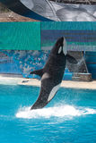Whale leaping out of the Water Stock Images