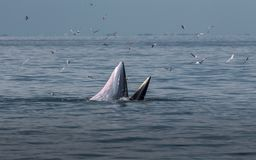 The Bryde`s Whale. A whale live in the Gulf of Thailand stock images