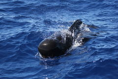 Whale. A long-finned pilot whale in southern Tenerife royalty free stock photo