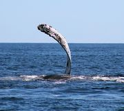 Whale at Los Cabos Mexico excellent view of family of whales at pacific ocean Royalty Free Stock Image