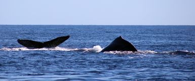 Whale at Los Cabos Mexico excellent view of family of whales at pacific ocean stock images