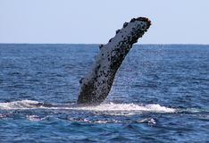 Whale at Los Cabos Mexico excellent view of family of whales at pacific ocean royalty free stock photo