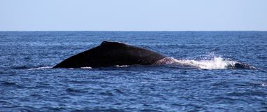 Whale at Los Cabos Mexico excellent view of family of whales at pacific ocean stock photography