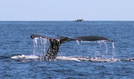 Whale at Los Cabos Mexico excellent view of family of whales at pacific ocean. Peaceful creatures stock images