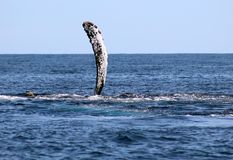 Whale at Los Cabos Mexico excellent view of family of whales at pacific ocean stock image