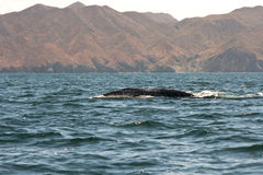 Whale Migration at Magdalena Bay Stock Images