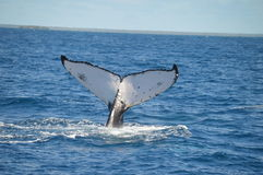 Whale mothers tail. Humpback whale diving in tonga Royalty Free Stock Images