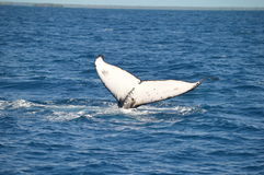 Whale mothers tail. Humpback whale diving in tonga Stock Photography