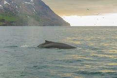 Whale, near Husavik Stock Image