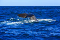 Whale, New Zealand. Tail flick for whale,Kaikoura,New Zealand royalty free stock photography