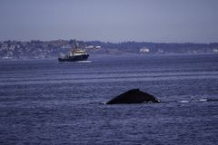 Whale In Ocean in the waters off Victoria BC royalty free stock image
