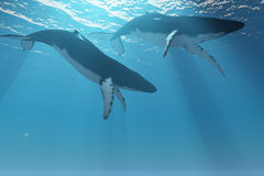 Whale Pair. Two Humpback whales swim near the ocean surface in the light rays from the sun Stock Photos