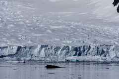 Whale in Paradise Harbor, Antarctica Stock Photography