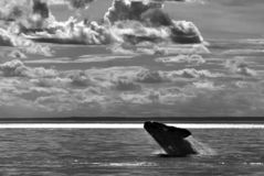Whale Patagonia Argentina. Peninsula de Valdes stock photo