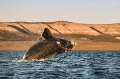 Free Whale, Patagonia, Argentina Royalty Free Stock Photo - 214857465
