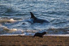 Whale Patagonia Argentina. Peninsula de Valdes Royalty Free Stock Photos