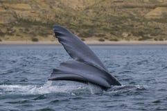 Whale,Patagonia Argentina Stock Photos