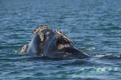 Whale,Patagonia Argentina Stock Photo