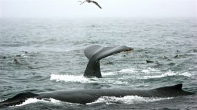 Whale Pose. In Monterey Bay California Royalty Free Stock Photos