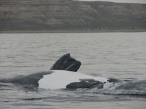 Whales belly. The Southern Right Whale from Argentina Patagonia showing the white belly stock photos