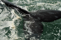 Whale's tail. A whale's tail in South Africa Royalty Free Stock Photography