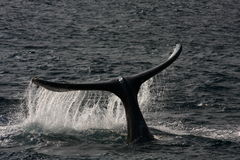 Whale's Tail Stock Images