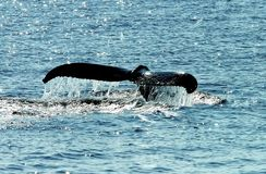 Whale's tail. The median notch and flukes on a whale (cetacea) tail off Georges Bank, New England Stock Photography