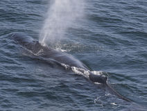 Whale Using Its Blowhole Stock Images