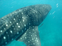Whale shark. In Indian Ocean royalty free stock images