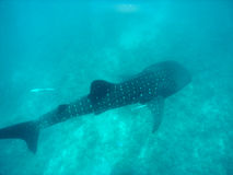 Whale shark. In Indian Ocean stock photo