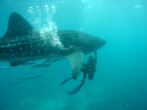 Whale shark. With scuba diver stock photography