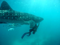 Whale shark. With scuba diver royalty free stock images