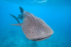 Whale shark. From Maldives, Indian Ocean stock images