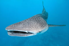 Free Whale Shark Royalty Free Stock Photos - 18298668