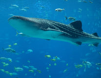 Whale Shark. In blue waters Stock Images