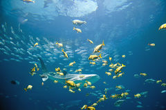 Whale Shark. Underwater image of a whale shark and schools of fish royalty free stock photo