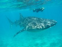 Whale shark. Cruising in the Indian Ocean with snorkeler Stock Image