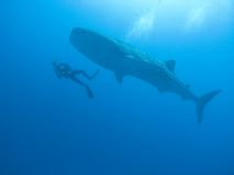 Whale shark. Cruising in the Indian Ocean with scuba diver stock photography