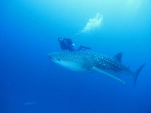 Whale shark. Cruising in the Indian Ocean with scuba diver Stock Photo