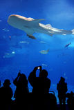 Whale Shark. This was taken at the Aquarium in Okinawa Japan. That is a whale shark with spectators looking on royalty free stock photos