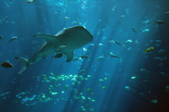Whale Shark. A huge whale shark surrounded by several small fish Stock Images