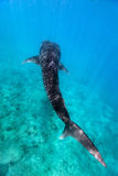 Whale shark. Above view of a whale shark swimming at a reef in Indian ocean at Maldives Stock Photos