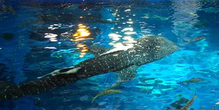 Whale Shark above water point of view. Photo taken in 2010 royalty free stock images