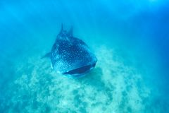 Whale shark and beautiful underwater scene with marine life in sunlight in the blue sea. Snorkeling and scuba Maldives underwater. Whale shark and an amazing stock photos