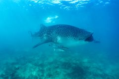 Whale shark and beautiful underwater scene with marine life in sunlight in the blue sea. Snorkeling and scuba Maldives underwater Stock Photography