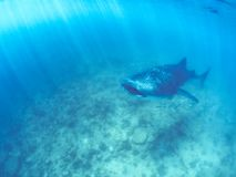 Whale shark and beautiful underwater scene with marine life in sunlight in the blue sea. Snorkeling and scuba Maldives underwater. Whale shark and an amazing stock image