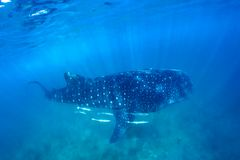 Whale shark and beautiful underwater scene with marine life in sunlight in the blue sea. Snorkeling and scuba Maldives underwater. Whale shark and an amazing Royalty Free Stock Images
