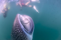 Whale Shark approaching a diver underwater in Baja California. Whale Shark approaching a Photographer underwater in Mexico stock photography